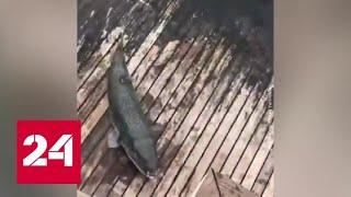 У берегов Турции – нашествие смертельно ядовитых рыб. Научпоп – Россия 24