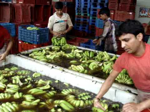 banana ripening cold storage plant in ludhiana punjab india www.niteshfruitcompany.com