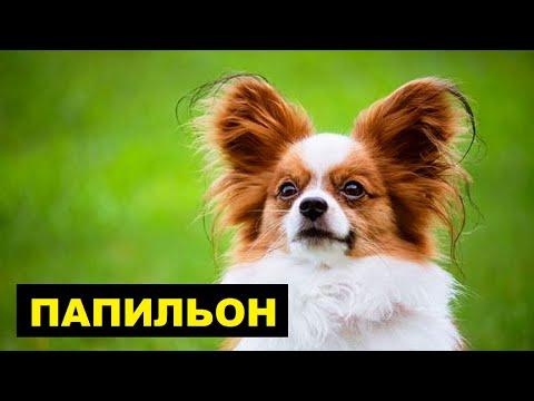 Папильон плюсы и минусы породы | Собаководство | Порода собак Папильон
