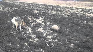 Работа лайки по барсуку в поле