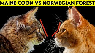 Maine Coon Vs Norwegian Forest Cat  How To Identify Them