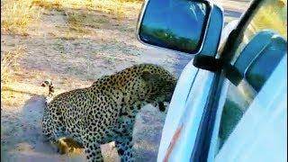 Leopard Bites & Punctures a Nissan's Tire