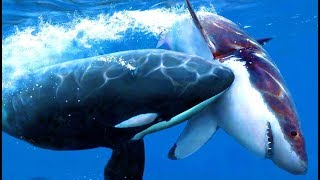 Biologists Have Discovered How Andamp Why Orca Whales Hunt Great White Sharks