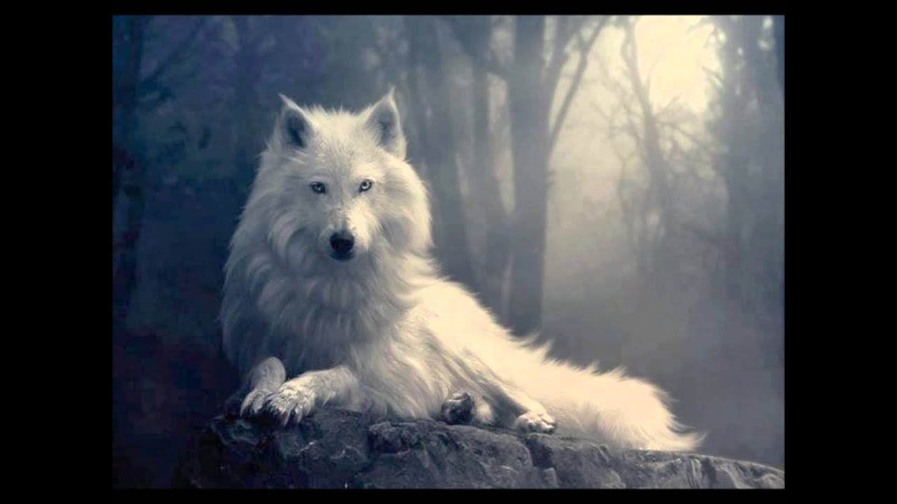 Coole Wolf Bilder El Aullido Del Lobo Real Youtube