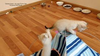 Тайские котята - покорители вершин  в месячном возрасте! Тайские кошки - это чудо! Funny Cats