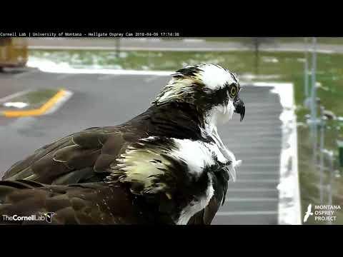 Iris Returns, [Long Cut] April 6, 2018 | Cornell Lab | University of Montana Hellgate Ospreys
