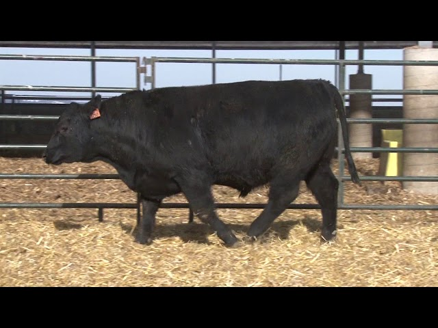 Schiefelbein Angus Farms Lot 30