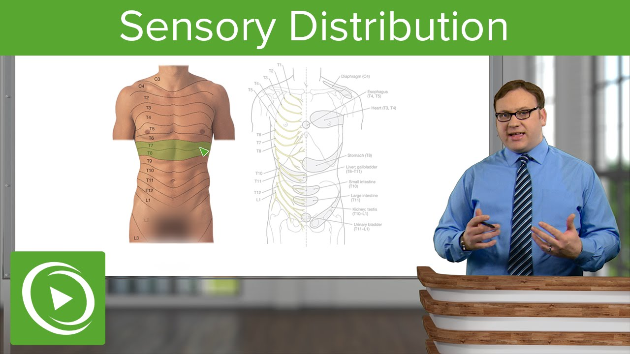 Sensory Distribution of the Abdomen – Anatomy | Lecturio