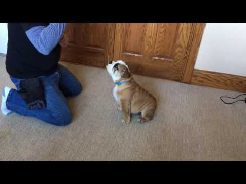 English Bulldog Puppy Early Obedience Training by Master Trainer David Harris