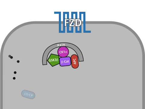 The Wnt pathway in a normal and in a tumour cell