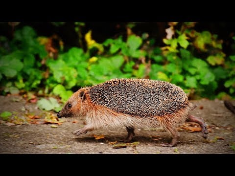Funny Hedgehogs🦔🦔Spiky and Funny Hedgehogs (Part 1) [Funny Pets]