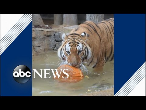 Zoo animals go wild with pumpkins for Halloween