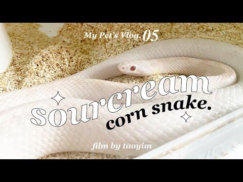 My Pet's Vlog.05   🐍 ทำไมถึงเลี้ยง Corn Snake? / น้องราคาเท่าไหร่ / เคยโดนกัดมั้ย!