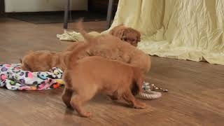 6 F1B Mini Goldendoodle Puppies For Sale Anna Lapp