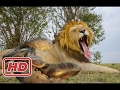 Amazing Predators Fight - Big Battle Animals , Lion vs Anaconda, Monkey Vs Tourist #10