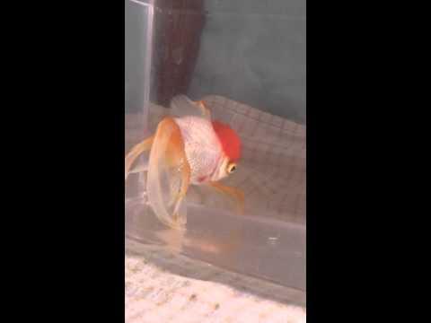 Dropsy In Goldfish Doovi