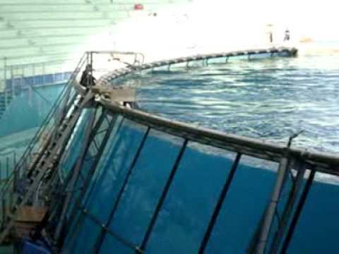 Killer Whale Attacks Trainer