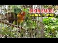 Bikin Emosi Lawan Auto Nyaut Lovebird Ngetik Ngotot Keras Dan Ngekek Panjang  Mp3 - Mp4 Download