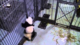Panda cubs fight for one toilet