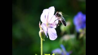 #flower #plant #climber #clematis #pink #purple #garden #leaf #green #nature