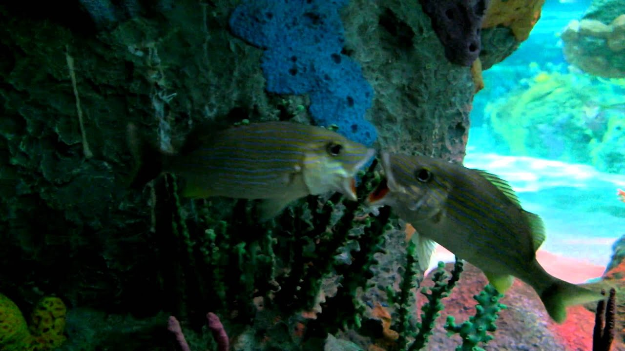 kissing (or fighting?) fish @ Toronto's Ripley's Believe ...