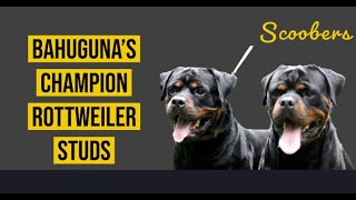 Rottweiler Dog Breed | Top Rottweiler Stud | Bahuguna's Den Kennel Delhi | Dog Breeding | Scoobers