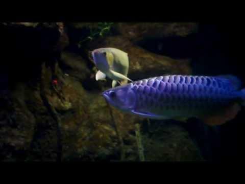Cá rồng - nét đẹp của cá rồng - Hong long & kim long