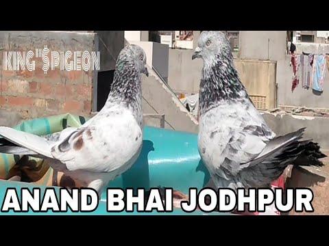 ANAND BHAI KE HIGH -FLYER PIGEON  JODHPUR RAJASTHAN.