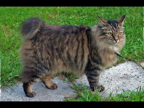 Вопрос: Как называется порода кошек без хвоста?