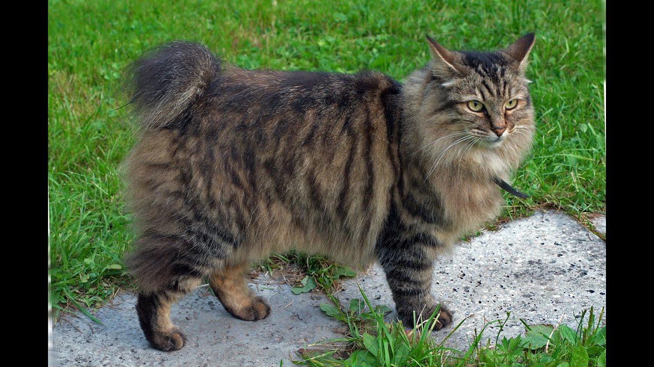 Коты курильский бобтейл фото