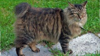 Курильский Бобтейл, Порода Кошек, описание