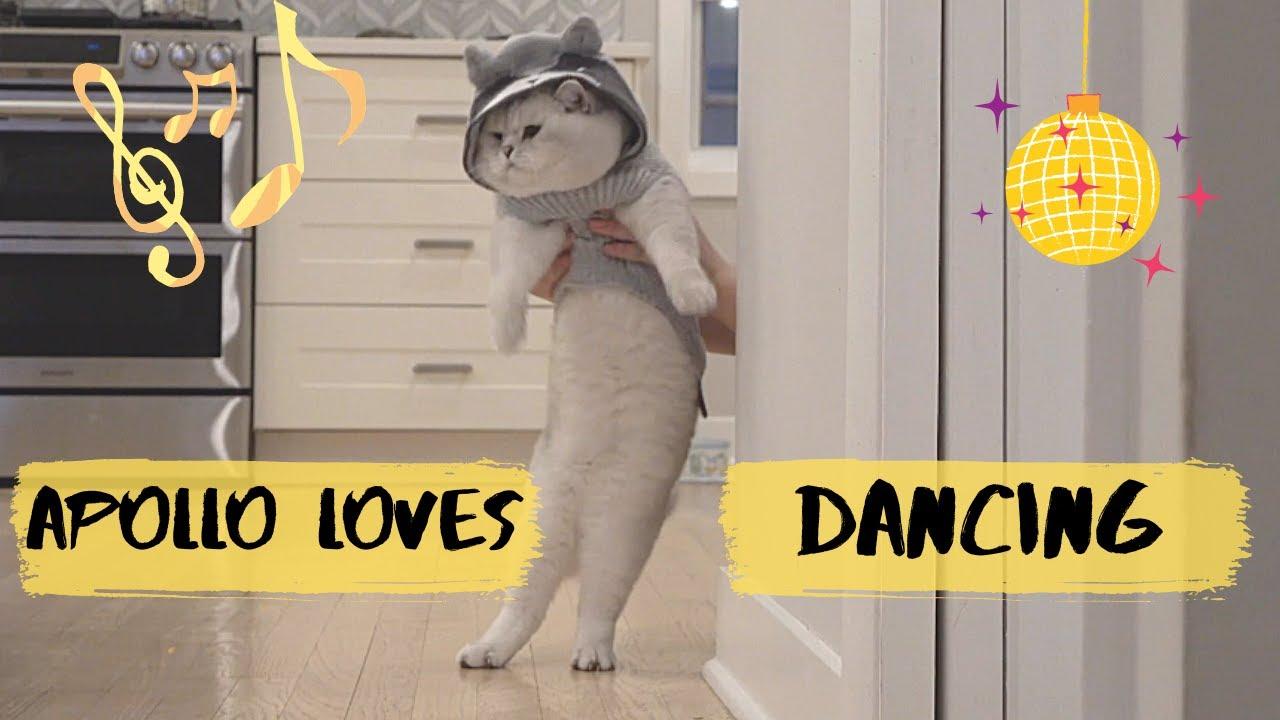 Big British shorthair cat Apollo is dancing