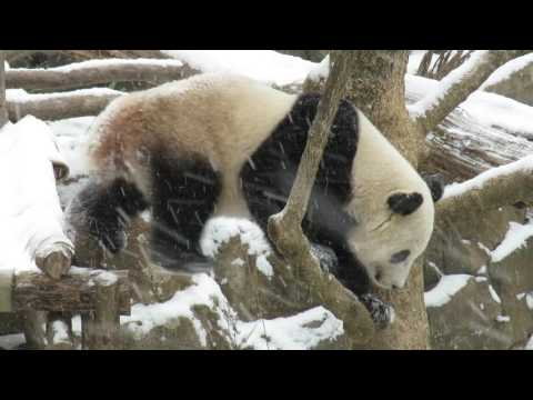 Bao Bao Bleats at Her Keepers on a Snowy Day
