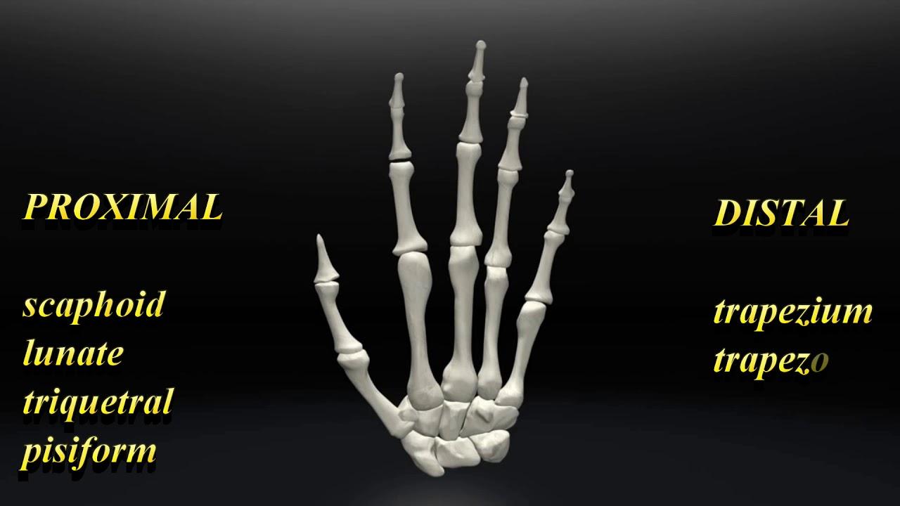 Bones Of The Hand Song Youtube