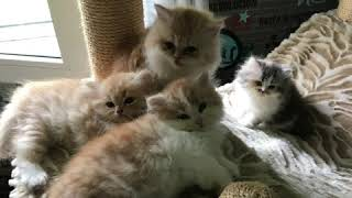 Persian kittens yawning and playing, couple weeks old