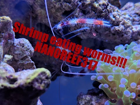 Coral Banded Shrimp Eating Bristle Worms! Plus, Tank Montage!