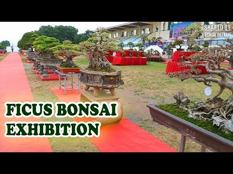 Ficus bonsai exhibition 2018 in Vietnam