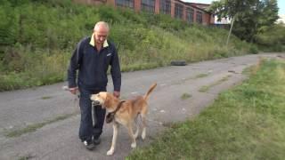 Боба держи стадионе,русская гончая управляемая городская собака.