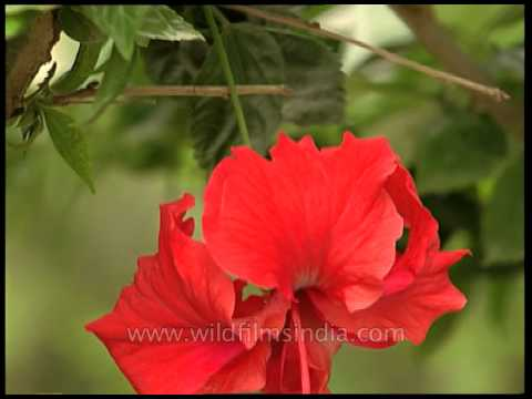 Red Hibiscus Flower Youtube