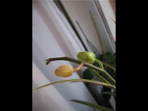 Опадание цветов на орхидее.Недостаточное освещение 2 orchid