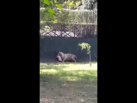 White tiger killed a man