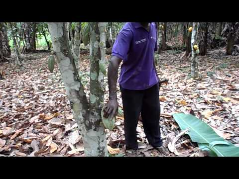 Tour of Cocoa Farm in Adjeikrom, Ghana