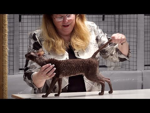 CFA International Cat Show 2017 - Championship Cornish Rex