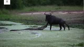 видео Кто такая антилопа гну и где она обитает