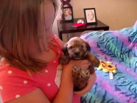 Wheaten Terrier Puppy, Celeste from Celebritypups.com