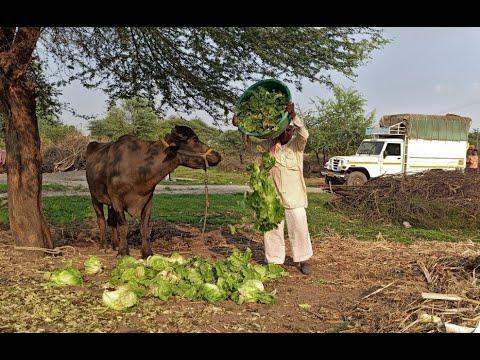 كورونا تجبر المزارعين الهنود على إطعام الفراولة والخس للماشية  - 17:02-2020 / 4 / 4