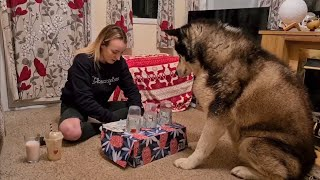 Girl plays game with a Huge Husky