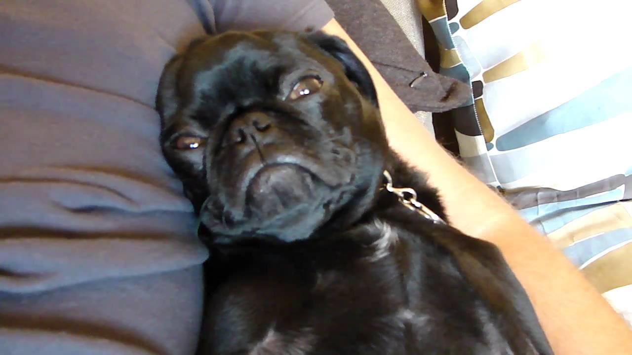Funny Darth Vader Pug Black Pug Puppy Snoring Very