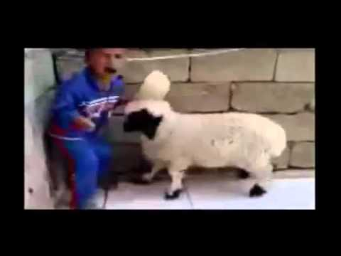 Video lucu  Anak Kecil di seruduk Kambing