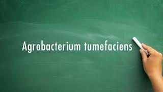 How to pronounce Agrobacterium Tumefaciens